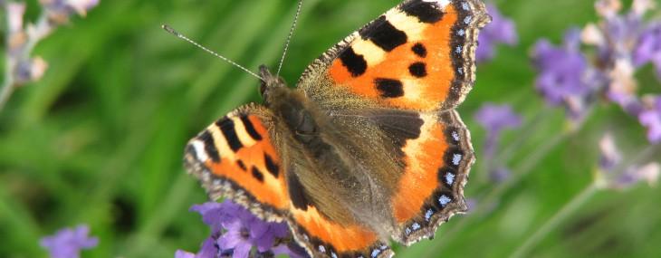 Fjärilar inte bara vackra